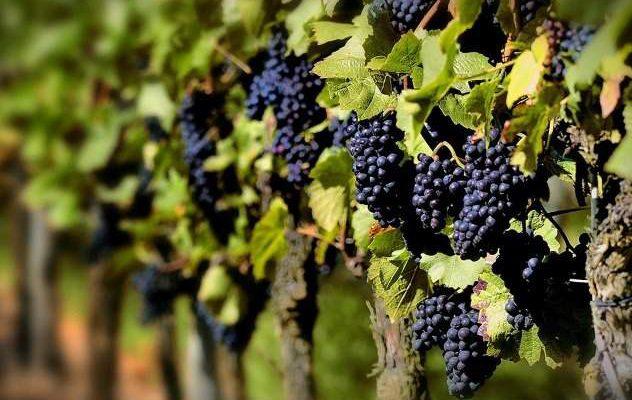 Можно ли при отеках во время беременности есть виноград?